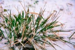 Cebolas verdes na neve Fotografia de Stock