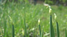 Cebolas verdes no jardim filme