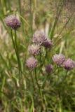 Cebolinha no jardim de erva (schoenoprasum do Allium) Imagem de Stock