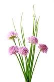 Cebolinha (schoenoprasum do Allium) foto de stock royalty free