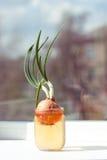 Cebolla brotada en agua del tarro, en travesaño de la ventana, contra el fondo de casas borrosas Foto de archivo