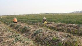 Cebolla de la cosecha de los granjeros en el campo metrajes