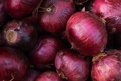 Cebolla de la salmuera o cepa roja del allium Foto de archivo libre de regalías