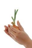 cebolla de los jóvenes del asimiento de la mano Imagen de archivo libre de regalías