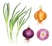 cebolla del sistema de cebolla, del verde, roja y amarilla Imagen de archivo