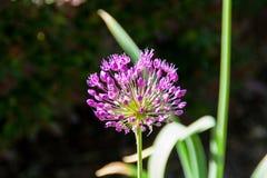 Cebolla floreciente en la luz del sol Fotografía de archivo libre de regalías