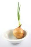 Cebolla germinada en el soplo blanco Imagen de archivo