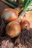 Cebolla orgánica Foto de archivo libre de regalías