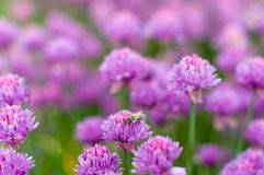 Cebolla púrpura floreciente del bulbo en el tiempo de primavera en el jardín Imagen de archivo libre de regalías
