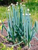 Cebolla que florece en la asignación Imagen de archivo libre de regalías