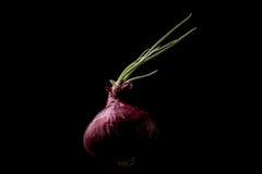 Cebolla roja Fotografía de archivo libre de regalías