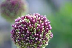 Cebolla salvaje floreciente Imagen de archivo libre de regalías