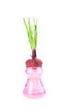 Cebolla verde de la primavera en el florero de cristal Imagen de archivo libre de regalías