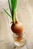 Cebolla verde que crece en un tarro de cristal Imagen de archivo libre de regalías