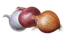Cebollas ilustración del vector