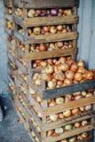 Cebollas amarillas orgánicas en una cesta Chalotes en la caja de madera harv imagen de archivo