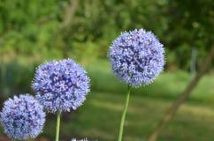 Cebollas azules Fotografía de archivo libre de regalías