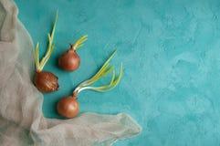 Cebollas brotadas en fondo de la turquesa Fotos de archivo libres de regalías