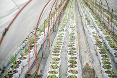 Cebollas crecientes de la semilla Fotografía de archivo
