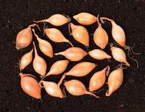 Cebollas crudas del oro Imagenes de archivo