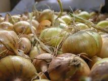 Cebollas de la cosecha Imágenes de archivo libres de regalías