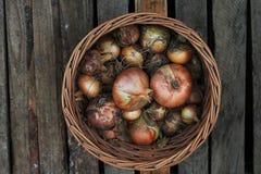 Cebollas de la cosecha en una cesta Imágenes de archivo libres de regalías