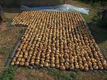 Cebollas de sequía imagenes de archivo