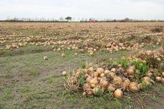 Cebollas en los campos Imagen de archivo libre de regalías
