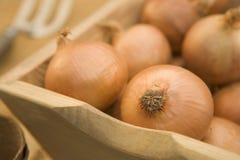 Cebollas en Trug de madera Imágenes de archivo libres de regalías