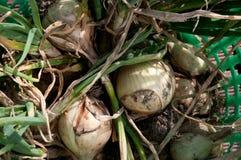 Cebollas enteras frescas Fotografía de archivo libre de regalías