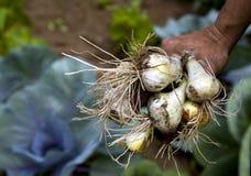 Cebollas frescas imagen de archivo