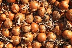 Cebollas listas para la cosecha Imagenes de archivo