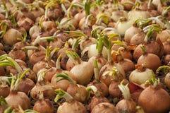 Cebollas marrones germinadas jóvenes en la tierra Foto de archivo libre de regalías