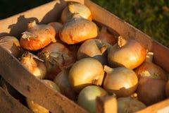 Cebollas orgánicas en una caja Foto de archivo libre de regalías