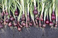 Cebollas rojas orgánicas foto de archivo libre de regalías