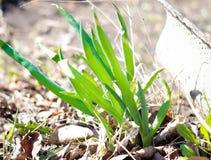 Cebollas verdes en el país en la primavera foto de archivo