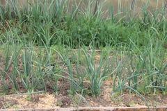 Cebollas verdes (Tatarka, cebollas fistulares) creciendo en invernadero en el jardín Fotografía de archivo libre de regalías
