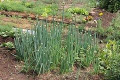 Cebollas verdes (Tatarka, cebollas fistulares) creciendo en invernadero en el jardín Fotos de archivo