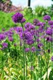 Cebollas violetas Imágenes de archivo libres de regalías