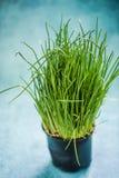 Cebolleta orgánica fresca en pote imagen de archivo libre de regalías