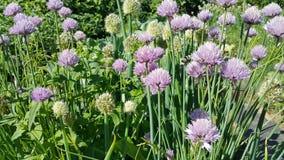 Cebolletas de la cebolla en el jardín Imágenes de archivo libres de regalías