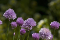 Cebolletas en la flor, schoenoprasum del allium Foto de archivo libre de regalías