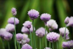 Cebolletas en la floración Imágenes de archivo libres de regalías