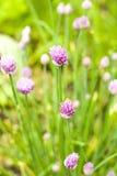 Cebolletas en la floración Imagen de archivo