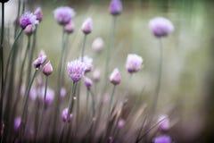 Cebolletas florecientes Fotografía de archivo