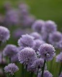 Cebolletas florecientes Imagen de archivo libre de regalías