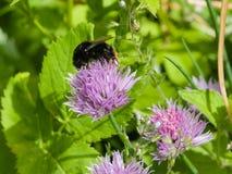 Cebolletas florecientes con una macro del abejorro, foco selectivo Imagen de archivo libre de regalías