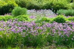 Cebolletas florecientes en el campo Foto de archivo libre de regalías