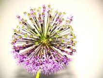 Cebolletas ornamentales, inflorescencia redonda fotografía de archivo