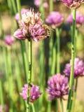 Cebolletas púrpuras de la flor en el jardín de la primavera Flores grandes hermosas de la cebolleta Fotos de archivo